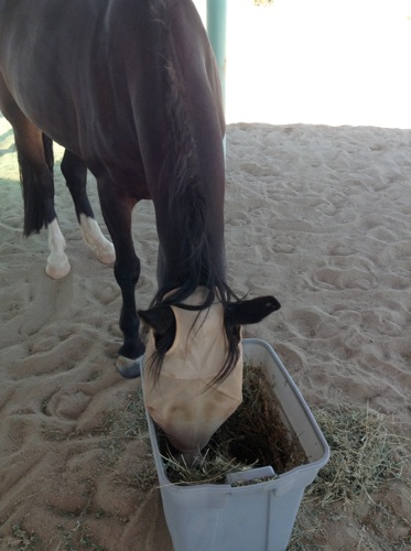 Masked Hallie enjoys a tub of hay.